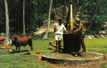 Coconut_oil_making_Seychelles